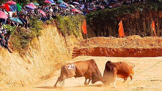 Đặc sắc lễ hội chọi bò